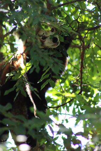 Panda Roux - Zoo Adelaide