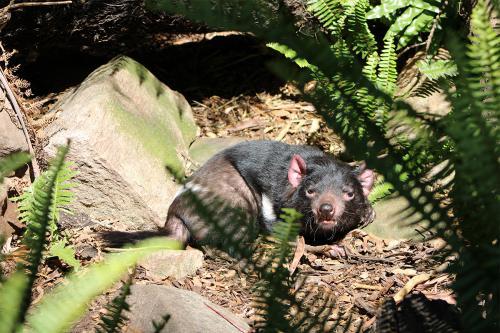 Diable de Tasmanie - Zoo Adelaide