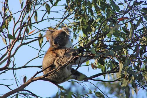 Kangarou Island